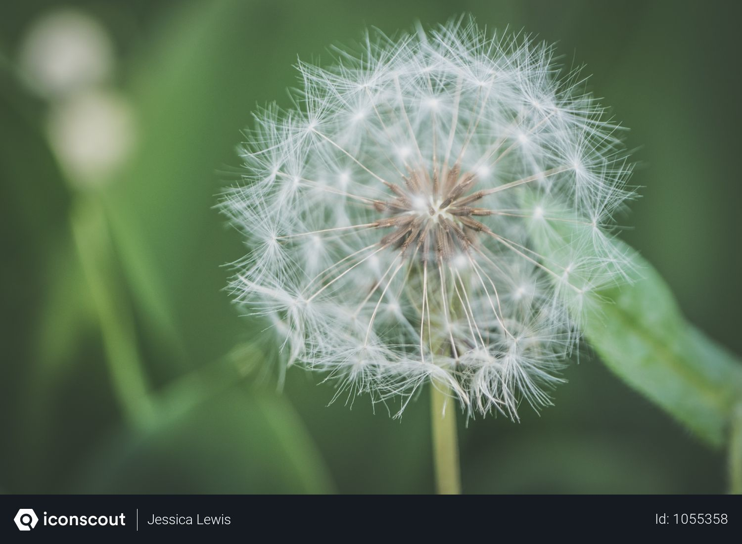 Free Shallow Focus Photography Of White Dandelion Flower Photo Download In Png Jpg Format Dandelion Flower White Dandelion Flower Photos