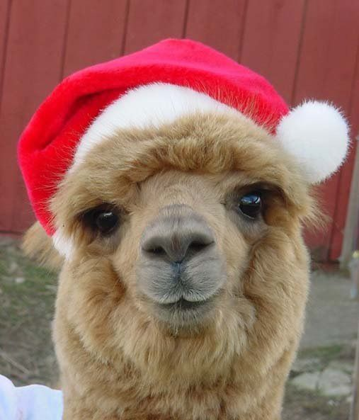 Alpaca S Love Santa Cute Alpaca Llama Alpaca Christmas Animals