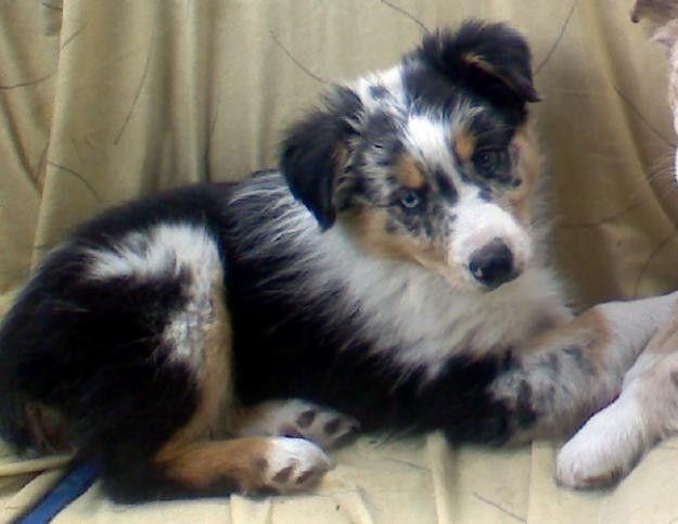 Our Little Mallie Minature Austrailian Shepard Australian Shepherd Puppies Shepherd Puppies Australian Shepherd