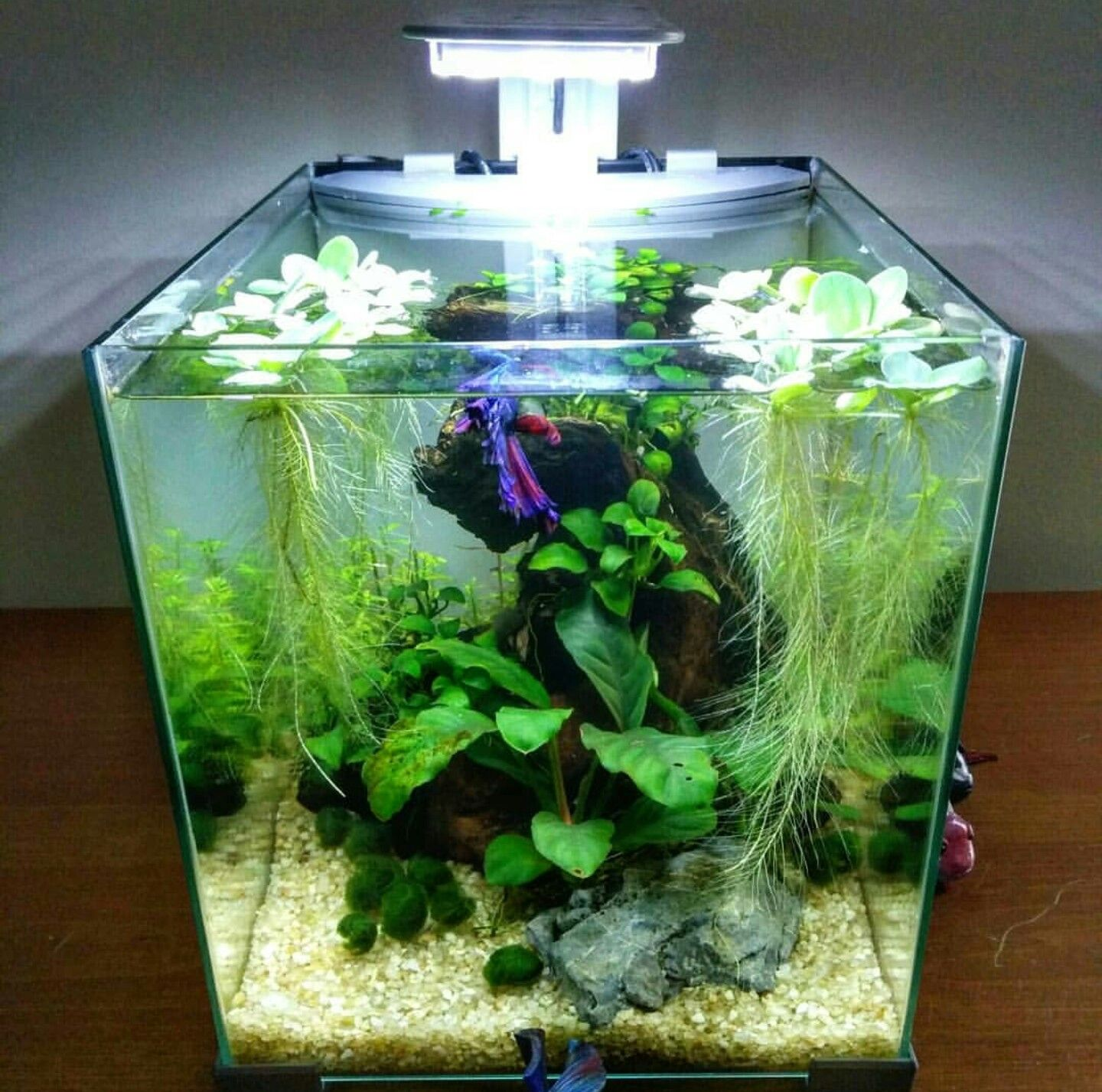 Cecil S Tank By Nano Aquatic On Instagram Betta Fish Tank Betta Fish Beta Fish Tank