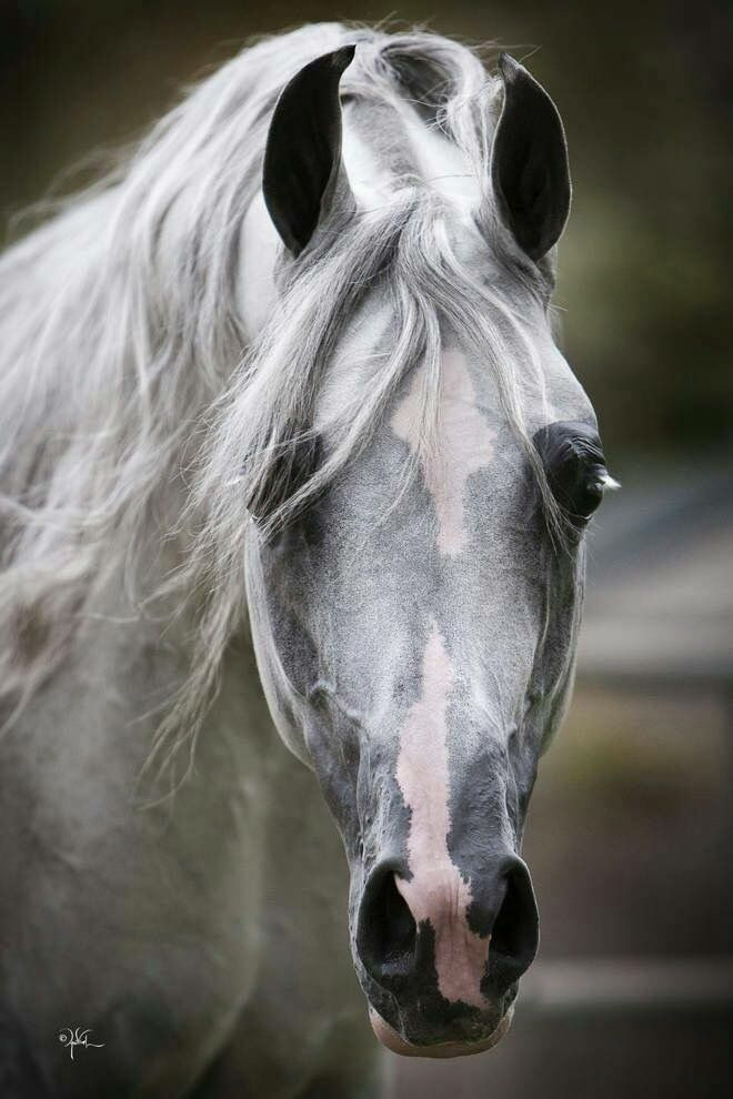 Beautiful colored horse face, nice grey with pink nose ...