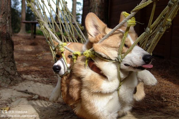 40 Things That Make Corgis Happy Corgi Corgi Dog Silly Animals