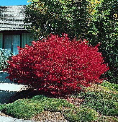 Burning Bush   Shrub, Burning bush and Gardens