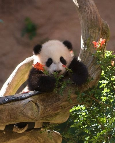 Yun Zi at the San Diego Zoo