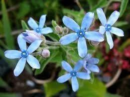 Tweedia, Blue