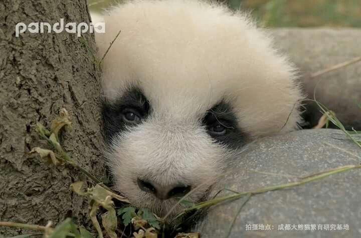 Panda ternura