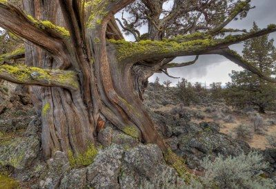 Old Growth Juniper In The Oregon Badlands Wilderness Photo Greg Burke A Defining Feature Of The Oregon Badlands Wild Oregon Road Trip Badlands Oregon Travel
