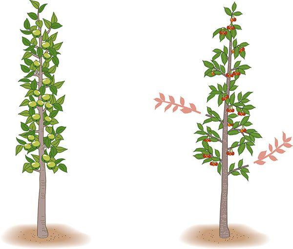 s ulenobst richtig schneiden und pflegen gy m lcsf k garden growing plants gardening tips. Black Bedroom Furniture Sets. Home Design Ideas