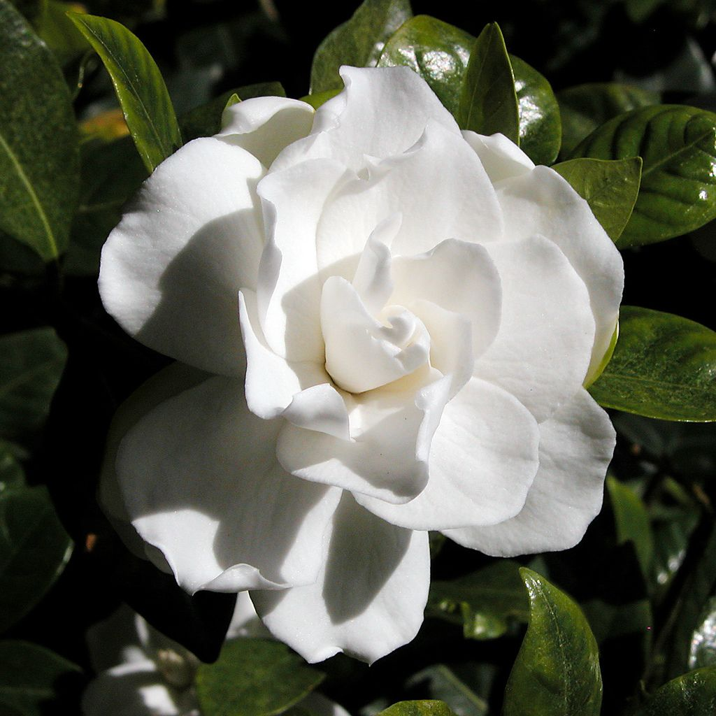 Gardenia Bugs How To Control And Eliminate Gardenia Insects