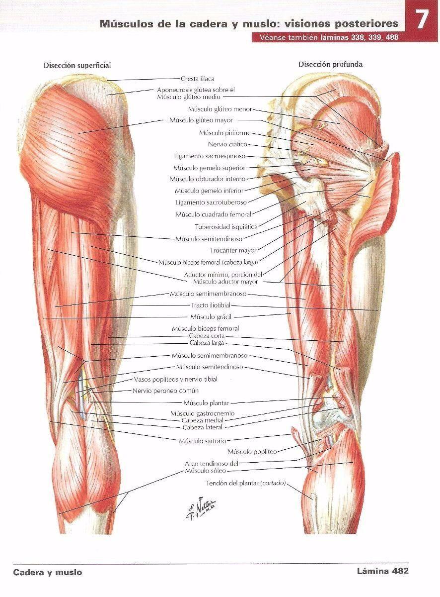 atlas-de-anatomia-humana-netter-6ta-edicion-pdf-D_NQ_NP_442411 ...