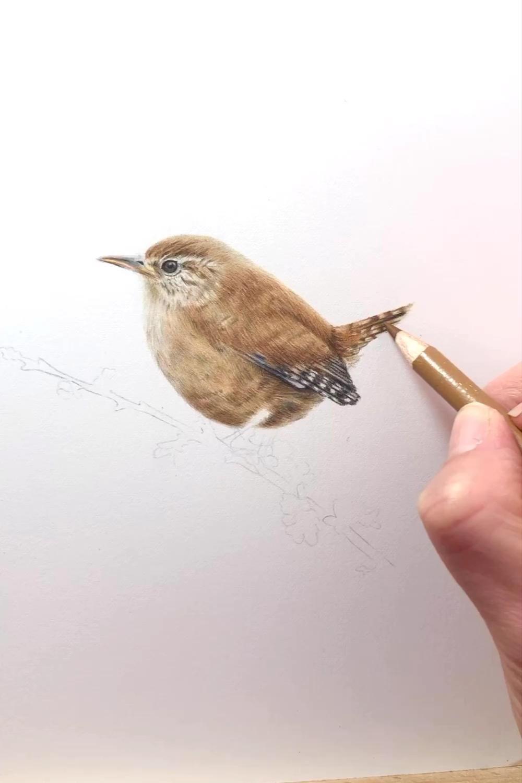 Wren Pencil Art Video Animal Drawings Bird Pencil Drawing Color Pencil Drawing