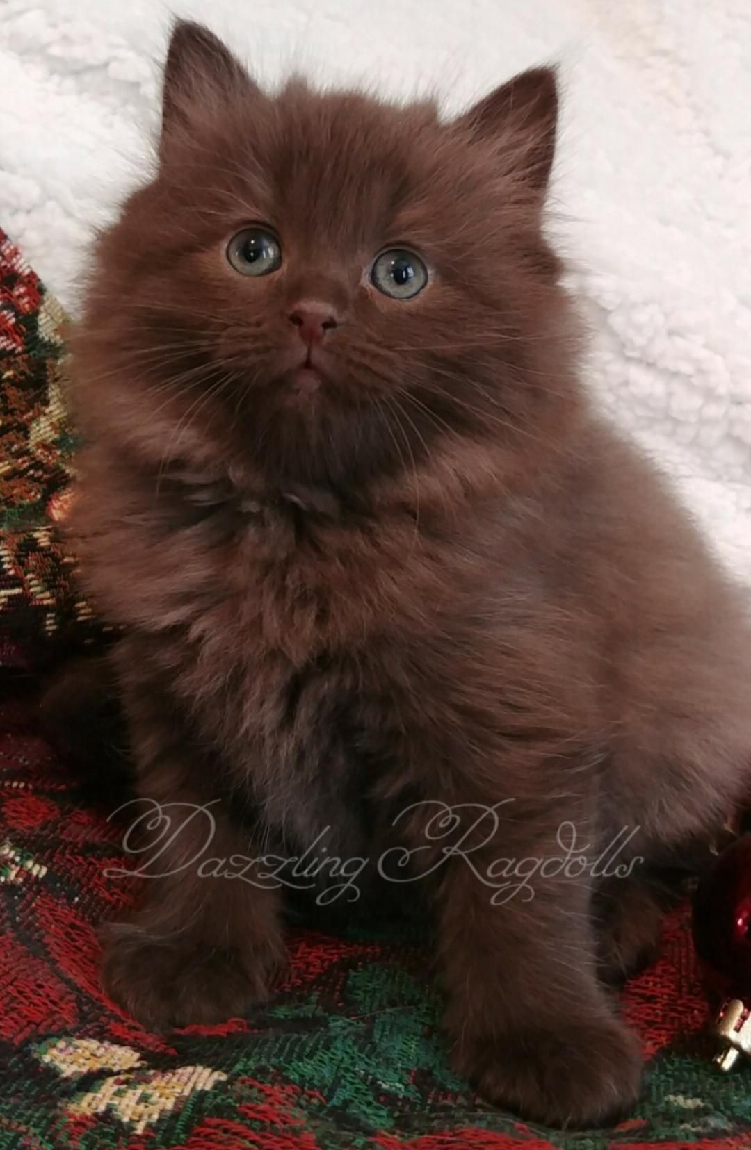 Chocolate Solid Ragdoll Kitten Ragdoll Kitten Ragdoll Cat Colors Ragdoll Cat Breeders