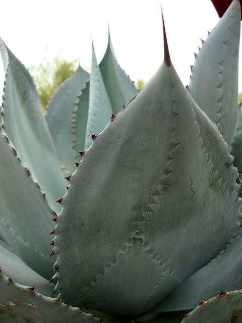 Agave celsii 'Nova' at The Desert Botanical Garden