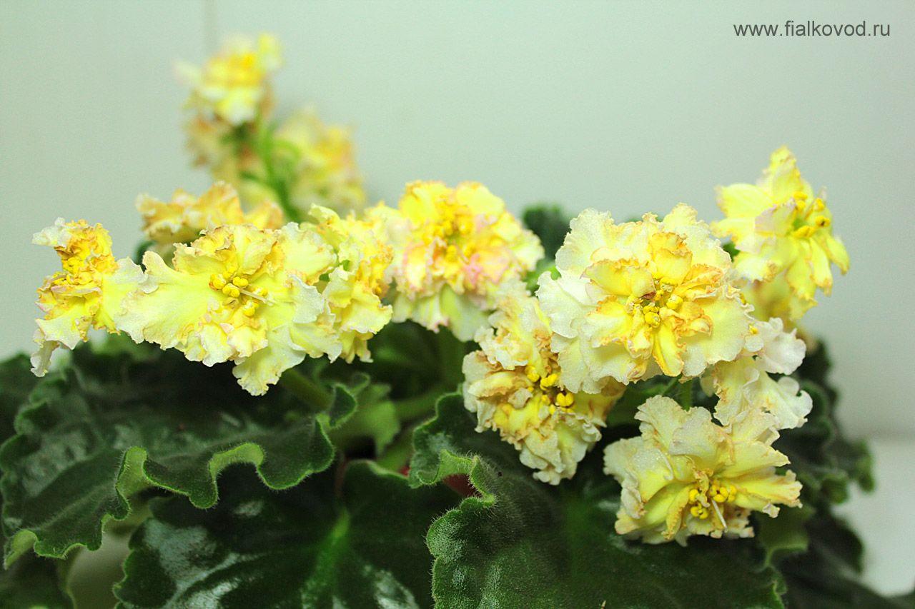 Фиалки желтые фото и название сорта