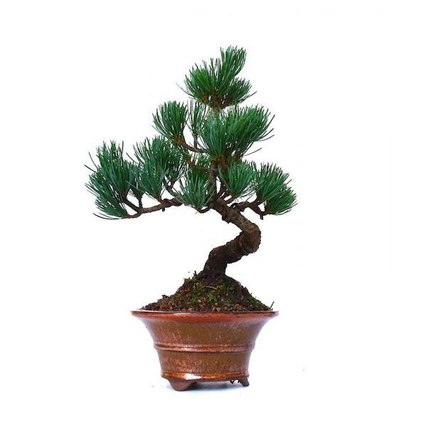 vente de bonsai pinus pentaphylla pin blanc du japon 26 cm ppjp131203 sankaly bonsa boutique. Black Bedroom Furniture Sets. Home Design Ideas