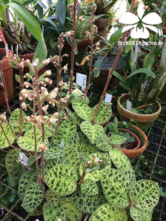Guldtradsmakodes Macodes Petola Plant Plants Jewel Orchid