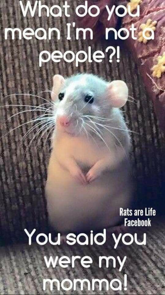 Pin By Mirandeela On A Mischief Of Rats Funny Rats Cute Rats Pet Rats