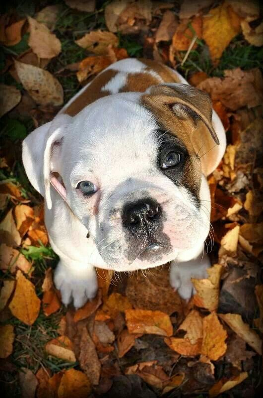 Harper Our Olde English Bulldogge Puppy 10 Weeks Old