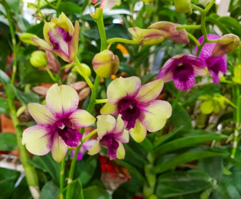 Dendrobium Orchid Orchid Flower Orchids Dendrobium Orchids