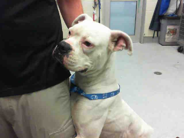 Boxer dog for Adoption in Grand Prairie, TX. ADN414852 on
