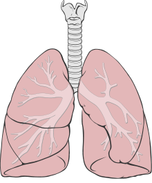 Lung Wikipedia The Free Encyclopedia Lungs Drawing Lunges Lung Cleanse