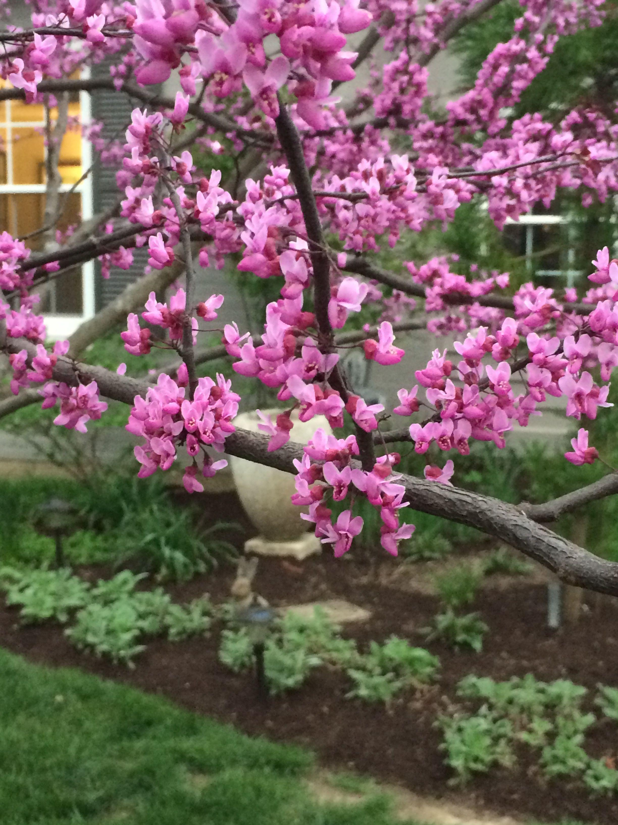 Redbud Tree 04/16/17 | My Oakwood Garden | Garden, Plants
