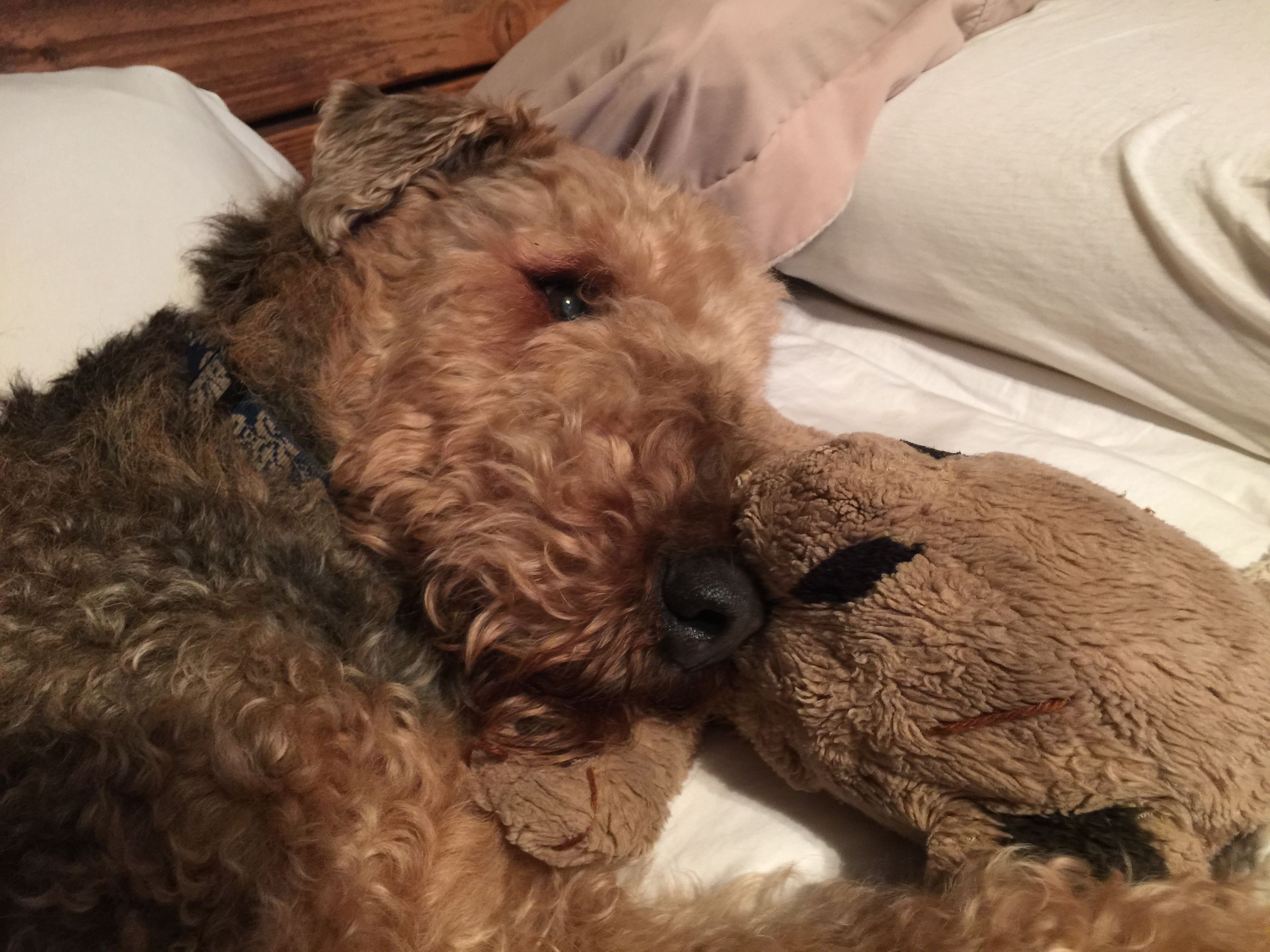 Awww!!! Airedale dogs, Dog love, Cutie patootie