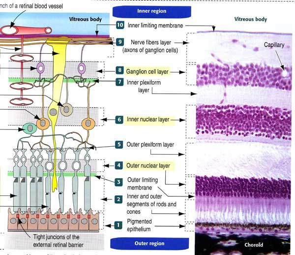 The layers of the retina (http://www.bio.miami.edu/tom/courses ...