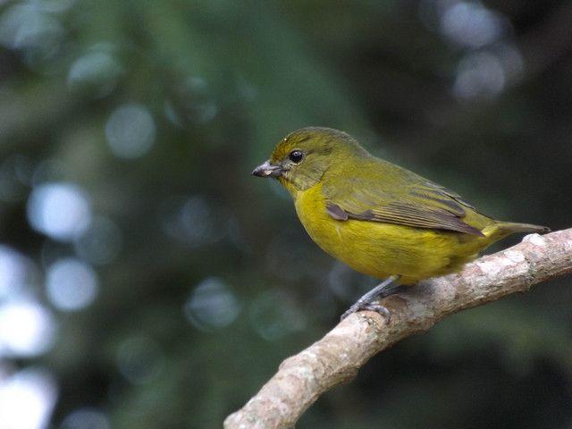 Foto gaturamo-verdadeiro (Euphonia violacea) por Henrique Junior | Wiki Aves - A Enciclopédia das Aves do Brasil