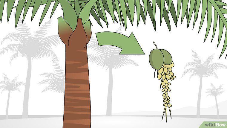 How to trim a palm tree palm trees palm tree fruit