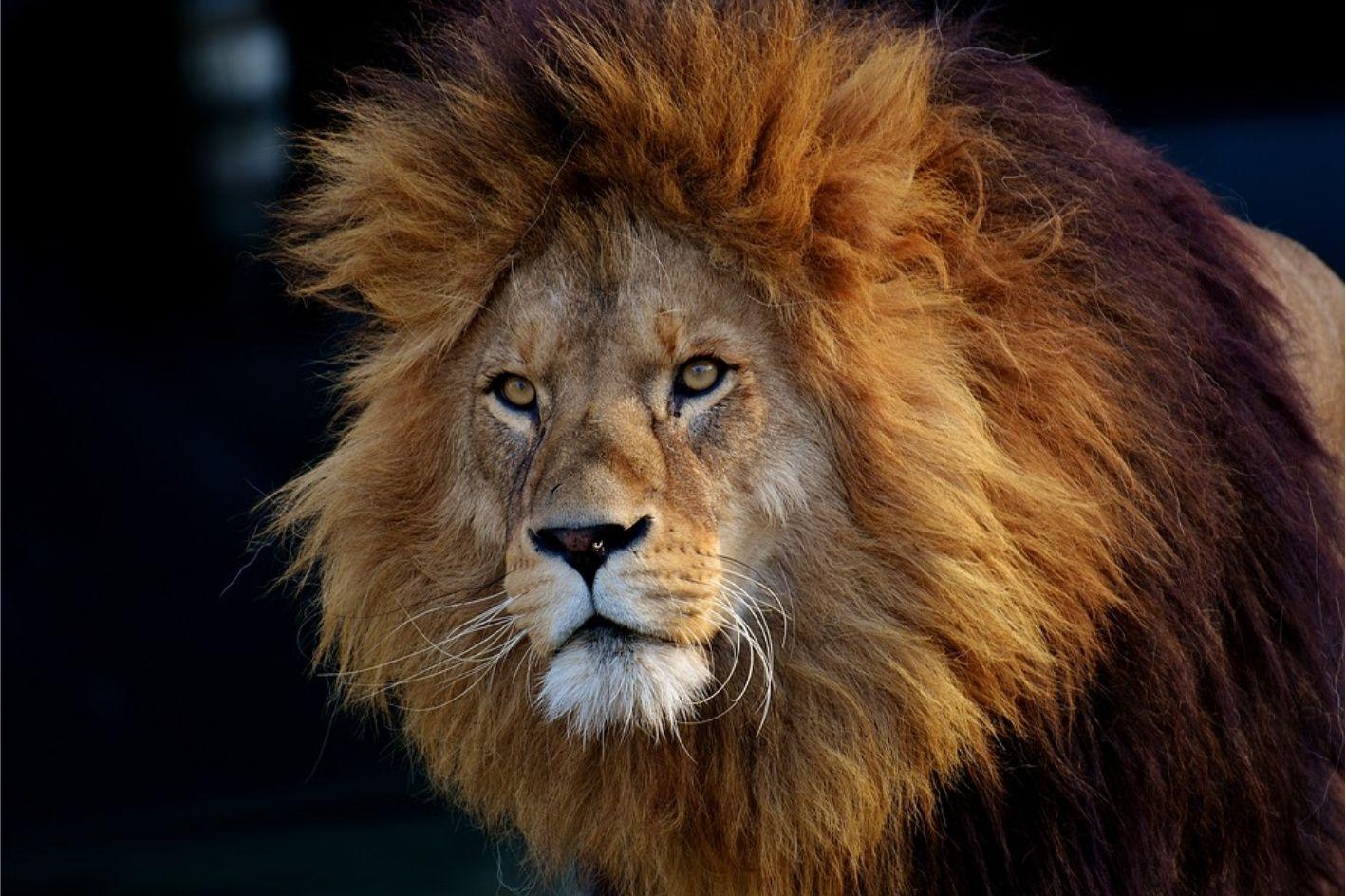 Dierentuin Gevaarlijk Jagen Kat Leeuw Man Wild