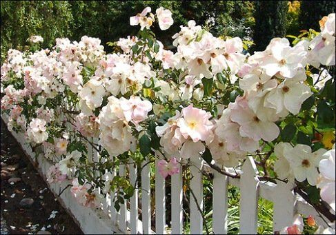 Easiest Roses To Grow Foolproof Rose Growing Guide Plant Instructions White Climbing Roses Growing Roses Purple Climbing Roses