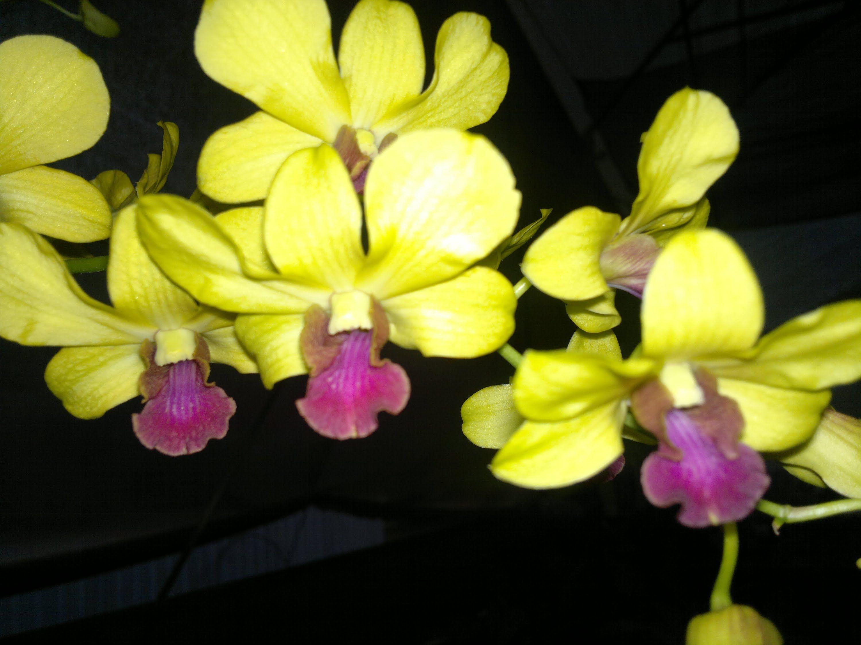 Como fazer mudas de orquídea - parte 02 -  germinação in-vitro