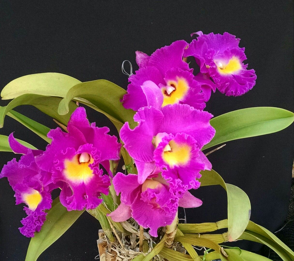 Blc Nan Chan Silk Olympic Torch Orchids Pinterest Orchid And