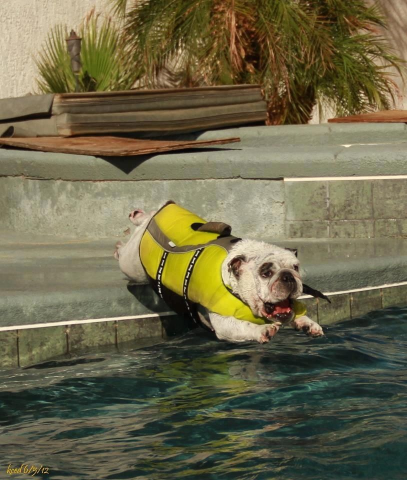 Who says bulldogs can't swim! Bulldog puppies, Bulldog