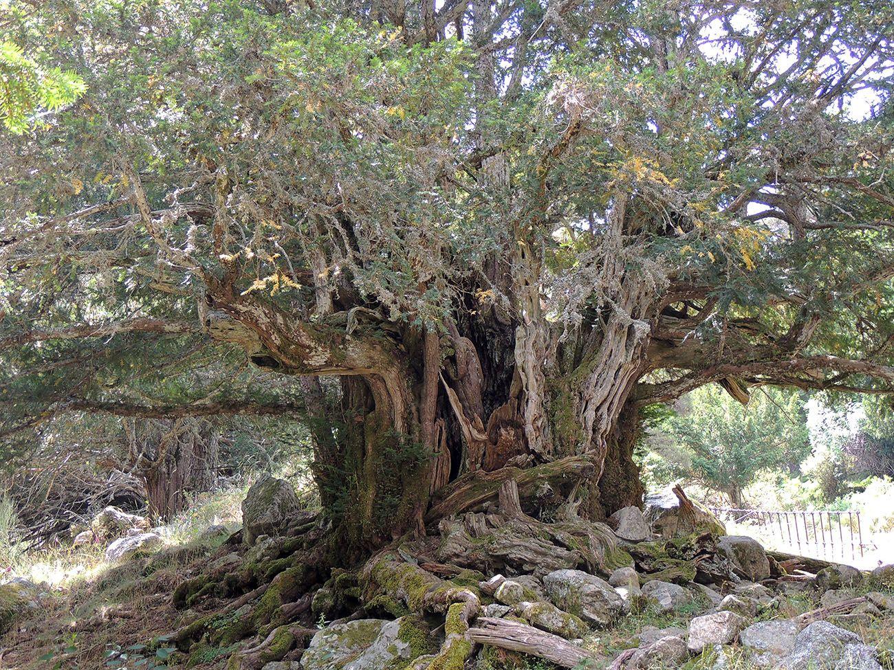 Tejo Del Arroyo De Barondillo Arboles árboles Y Arbustos árboles Extraños