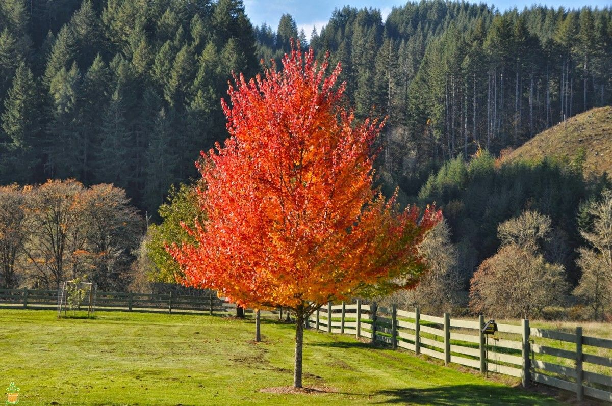 Ahorn October Glory Maple Trees For Sale Online Buy Maple Trees Online The