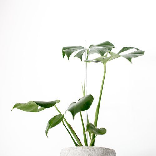 Indoor Plants For Sale Perth on indoor plants-interior, indoor tulips, indoor plants for christmas, indoor plants for aquarium, indoor gardening, indoor water plants on sale, indoor birds, indoor plants for home,