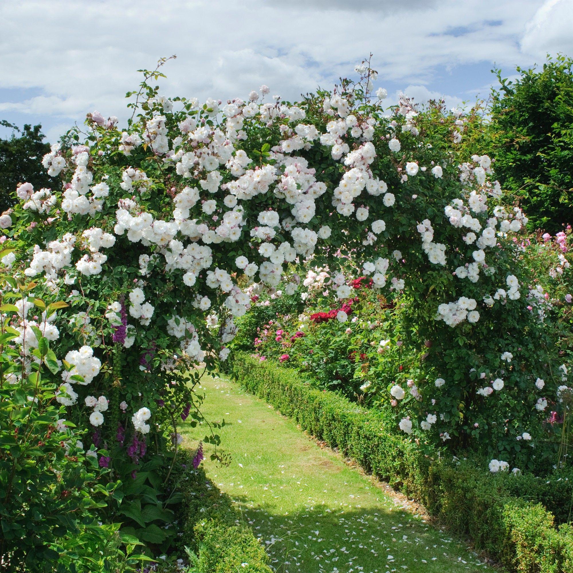 Adélaïde d'Orléans Splendid roses David austin roses