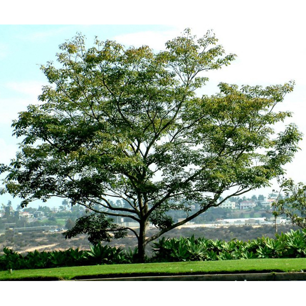 Tabebuia Impetiginosa Standard T Ipe Sun And Water Patio Trees Plants Delivered