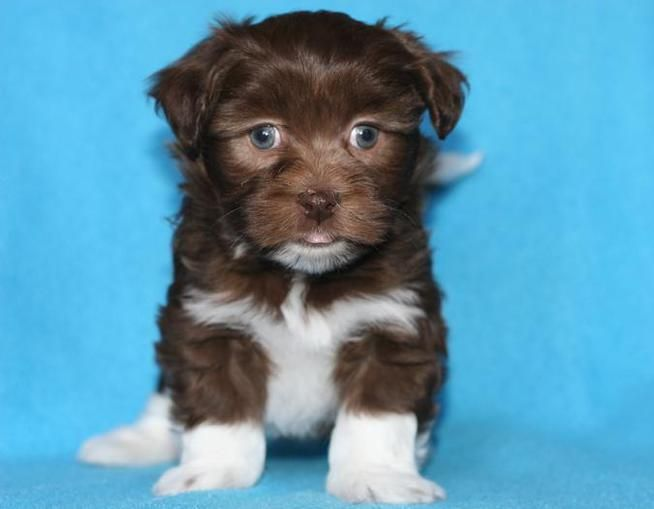 Moors Havanese Puppy X2f Litters Avaialble Puppies Havanese