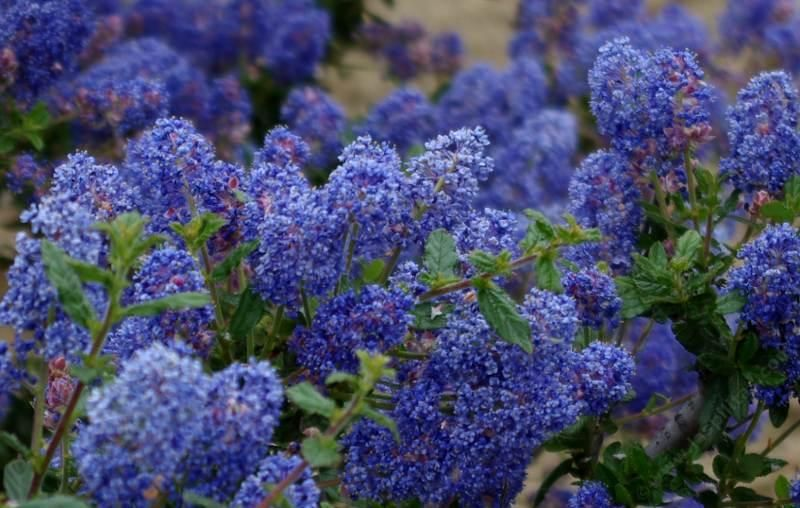 Ceanothus Frosty Blue Flower Will Turn Deep On Cold Years Amenable To Pruning And Dry Gardensmall Treesflower