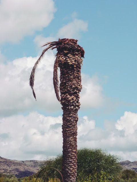 Photo of Rose semplici: il punteruolo rosso (povere palme!)