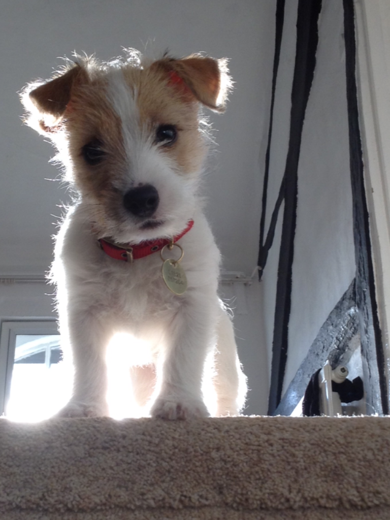 Dolly, 12 weeks. The Sporting Lucas Terrier. | Cute puppies ...