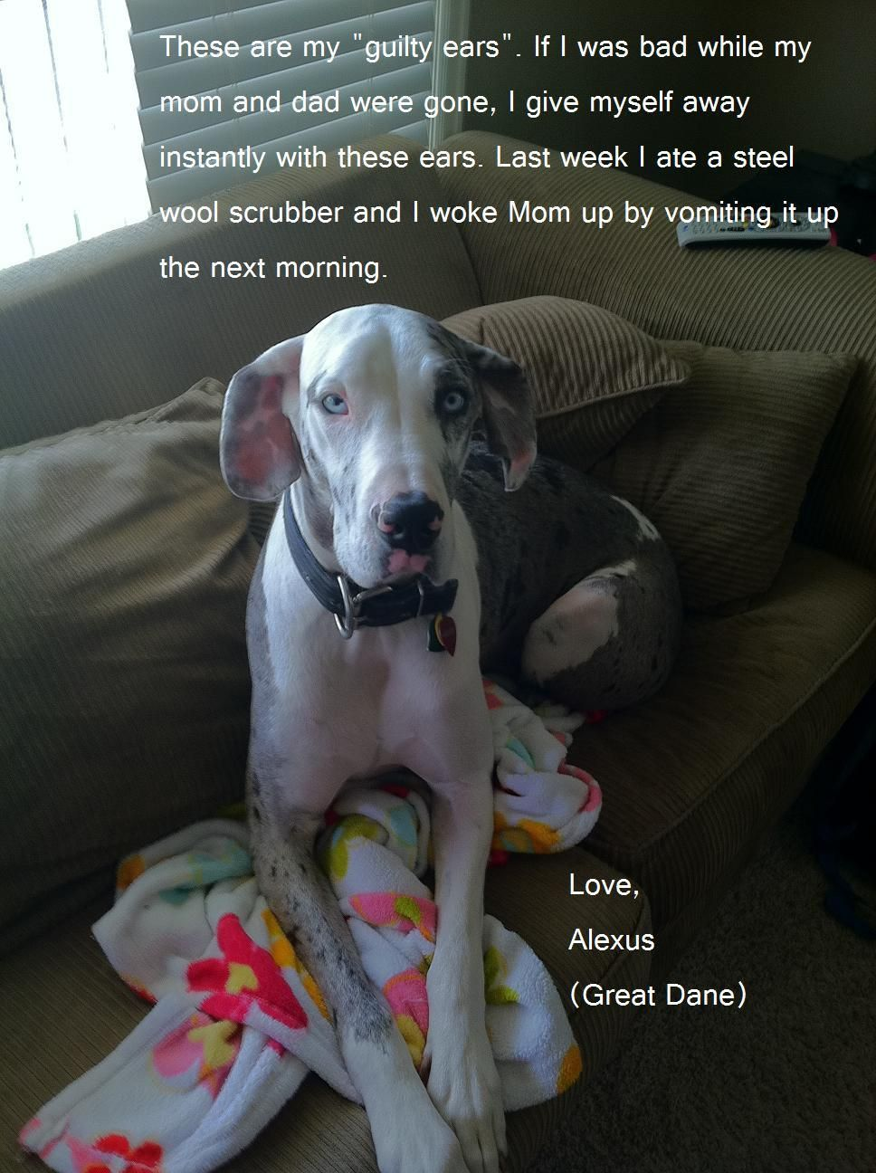 Guilty Great Dane Great Dane Funny Great Dane Baby Animals Funny