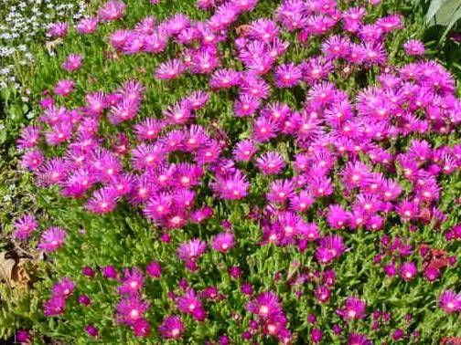 Delosperma Cooperi Plante Grasse Exterieur