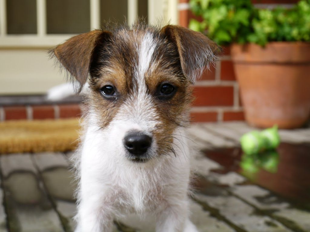 Cute Parson Jack Russell Puppy Youtube Jack Russell Puppies