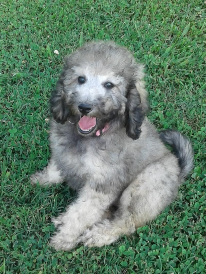 Adopt Curly Sue 9.9 LBS ADOPTED on Poodle mix dogs