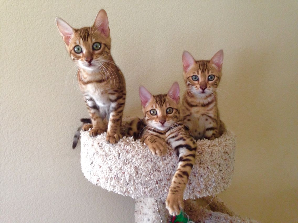 23 week old Bengal Cat Kittens | Bengal Kittens for sale ...
