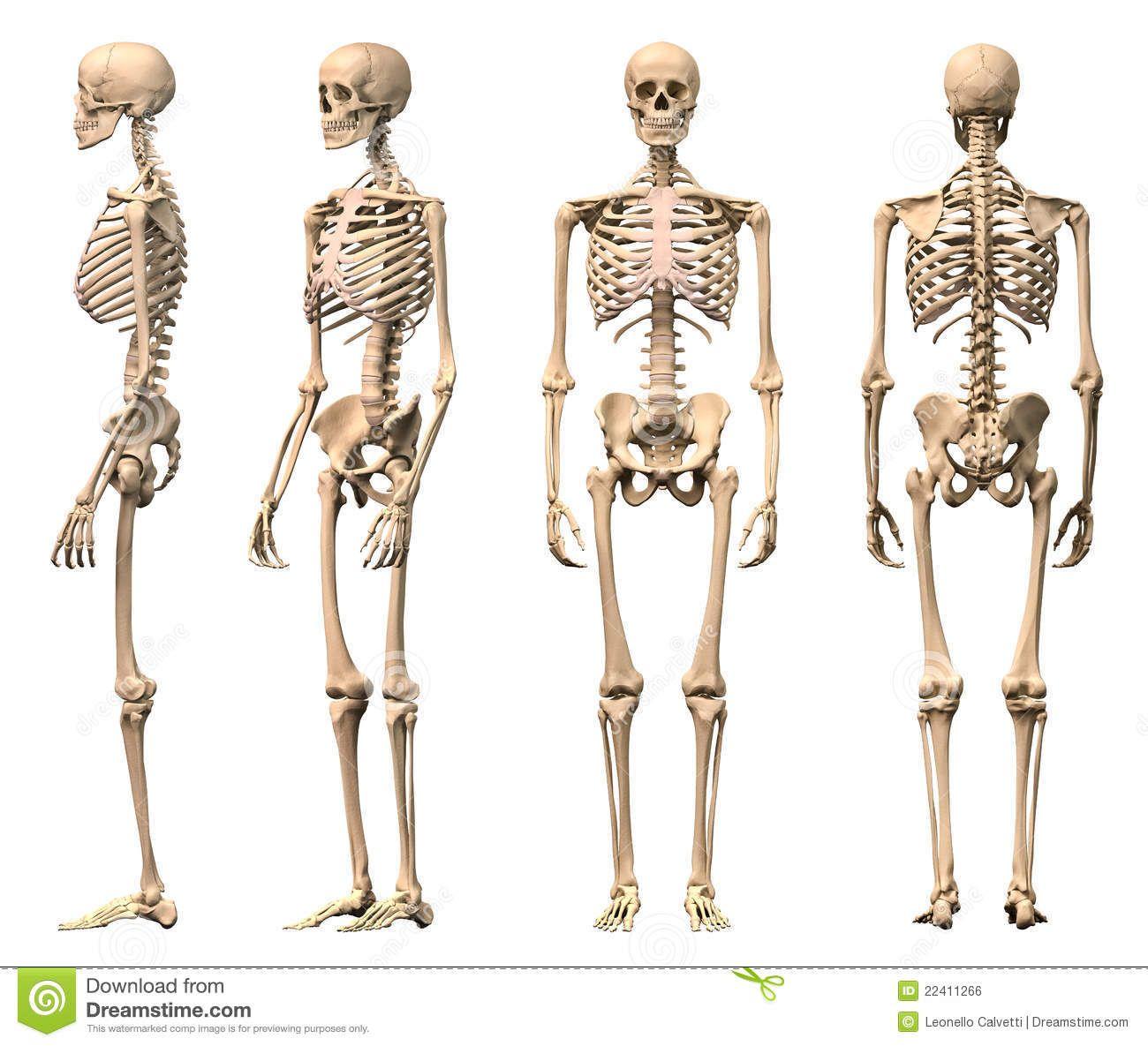 mannelijkmenselijkskeletviermeningen22411266.jpg